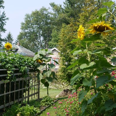 How to Grow Giant Sunflowers For Competition and Beauty