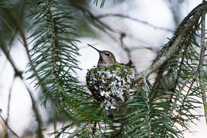 Annas Hummingbird nest