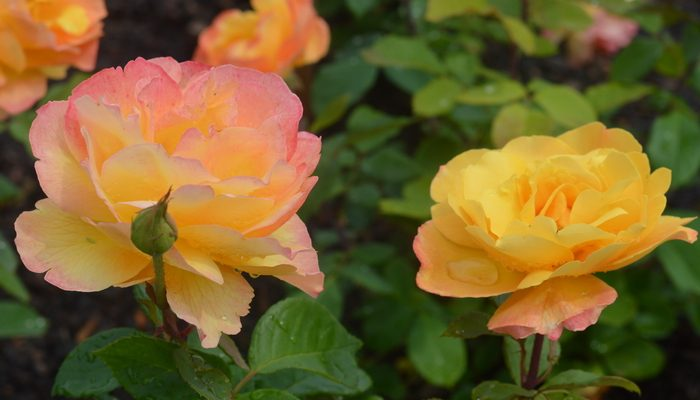 7 Tips for Growing Roses Organically to Create a Sustainable Eco-system
