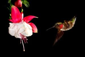 15 Red Hummingbird Flowers to Add to Your Organic Garden
