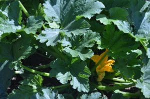 7 Organic Gardening Tips to Maximize Your Garden Yields Now