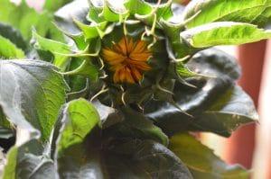 How to Prepare Sunflower Buds Like Artichokes