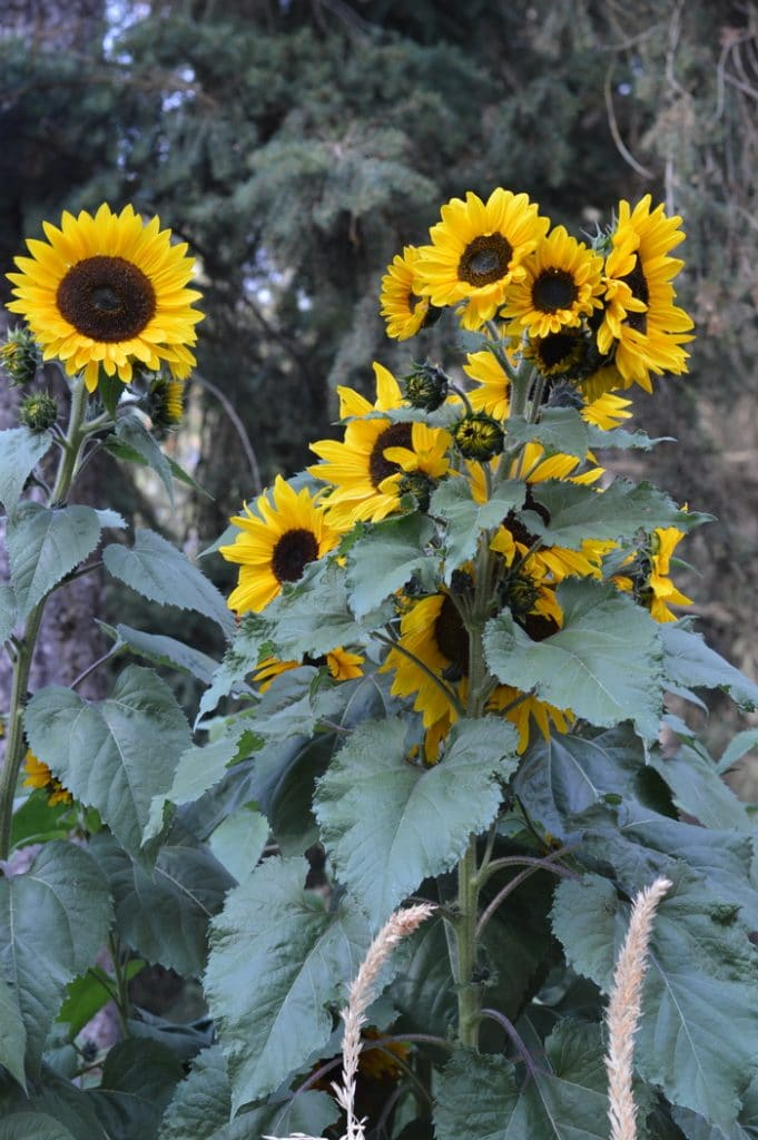 Sunflowers medicinal herbs forage