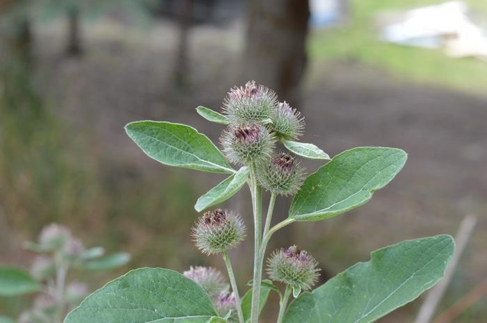 Burdock flowers