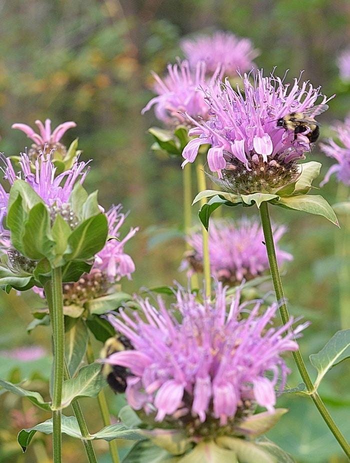 Monarda/Bergamot flowers