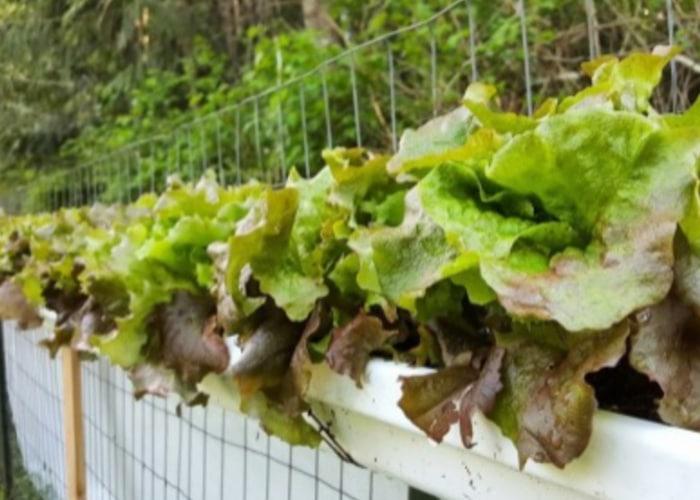 Herbs in gutters