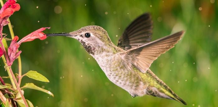 a hummingbird visiting anise hyssop