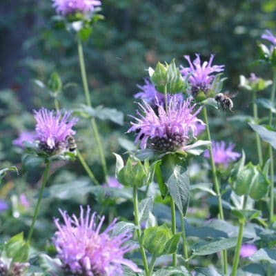 Growing and Using Bee Balm in the Kitchen and the Apothecary