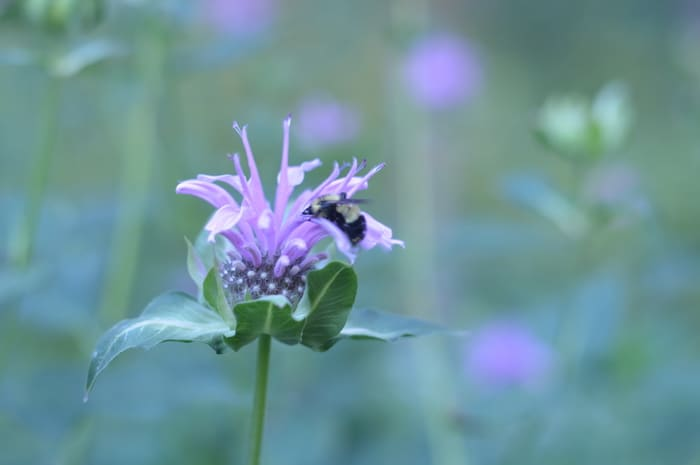 beebalm with bumblebee
