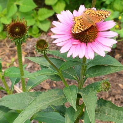 How to Grow Echinacea in Zone 3 for Herbal Remedies, Pollinators, and Cut Flowers