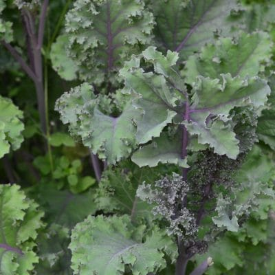 Grow Kale Year-round, for a Nutritious, Sweet Treat that's Easy to Grow