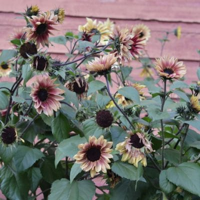 10 Types of Sunflowers to Grow for a Picture Perfect Garden