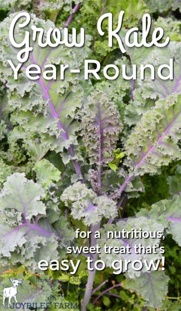 "purple veined kale leaves with text overlay ""grow kale year-round"""