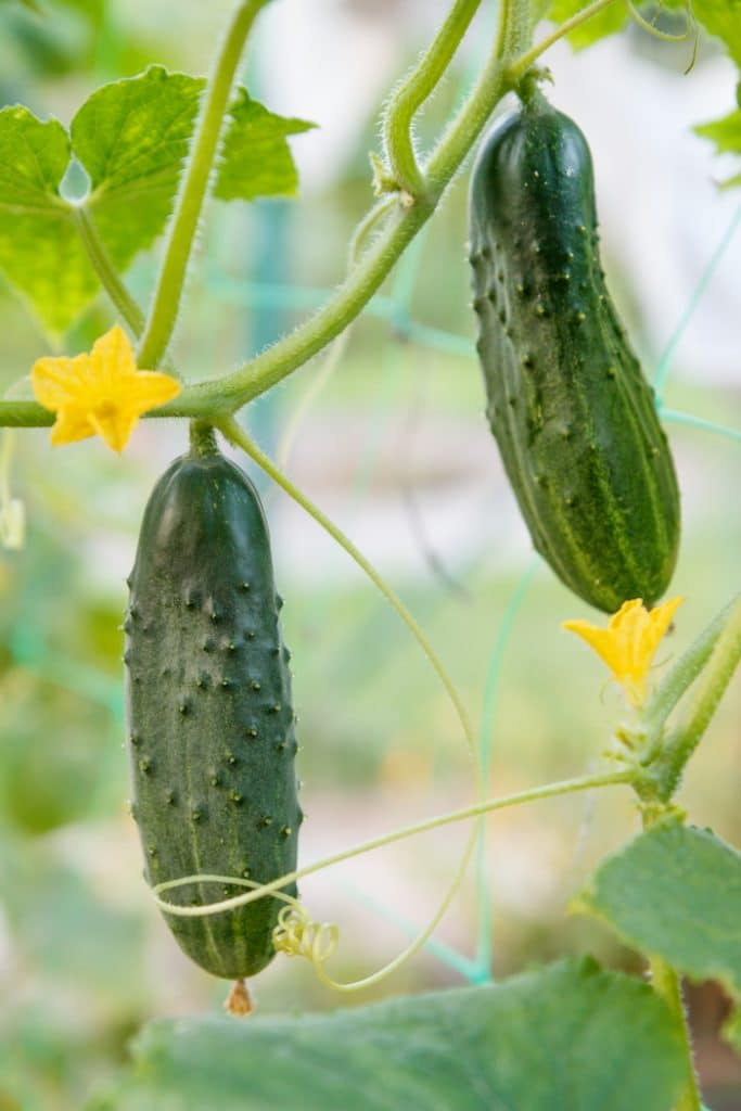 Cucumbers growing on the vine