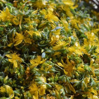 St. Johns Wort Tincture, Your Herbal Ally for Pain