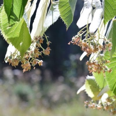 Harvesting Linden Flowers for Calming Linden Tea
