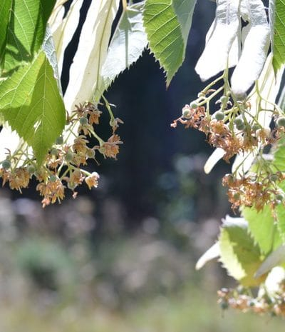 linden flowers ready for harvest and linden tea