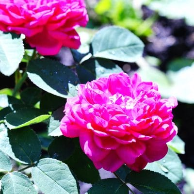 How to Grow Roses from Cuttings and Save a Heritage Rose