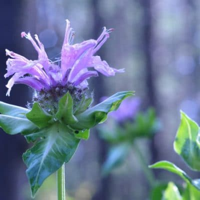 14 Perennial Herbs for Skin Care You can Grow in Zone 4