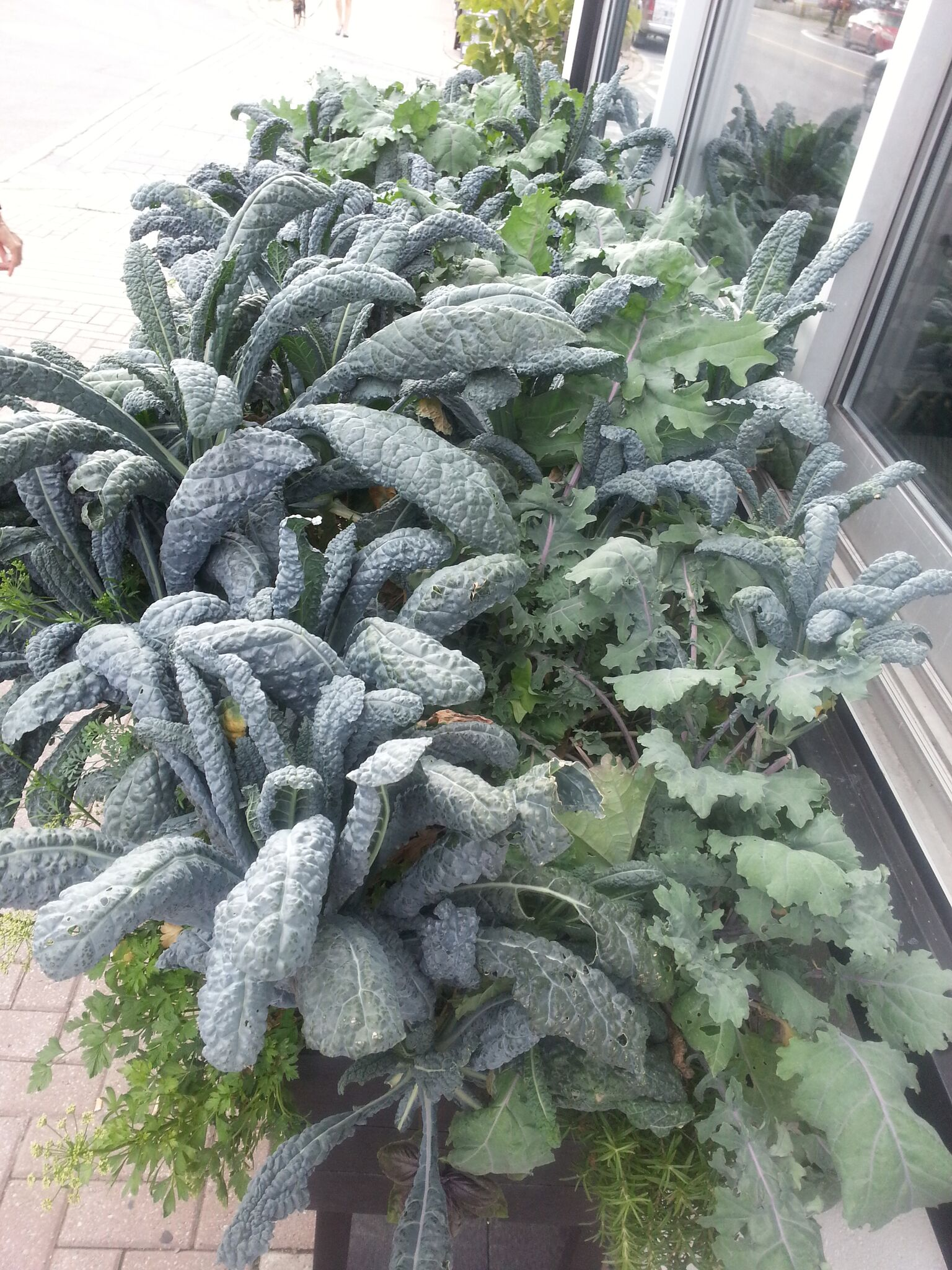 Two kinds of kale growing in a planter on a commercial street in Ottawa, Canada.