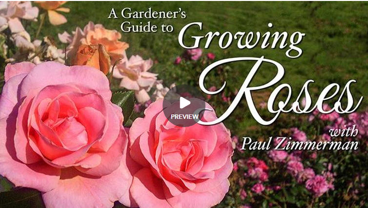 A gardeners guide to growing roses