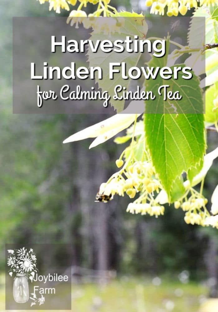 Harvesting Linden Flowers for linden tea