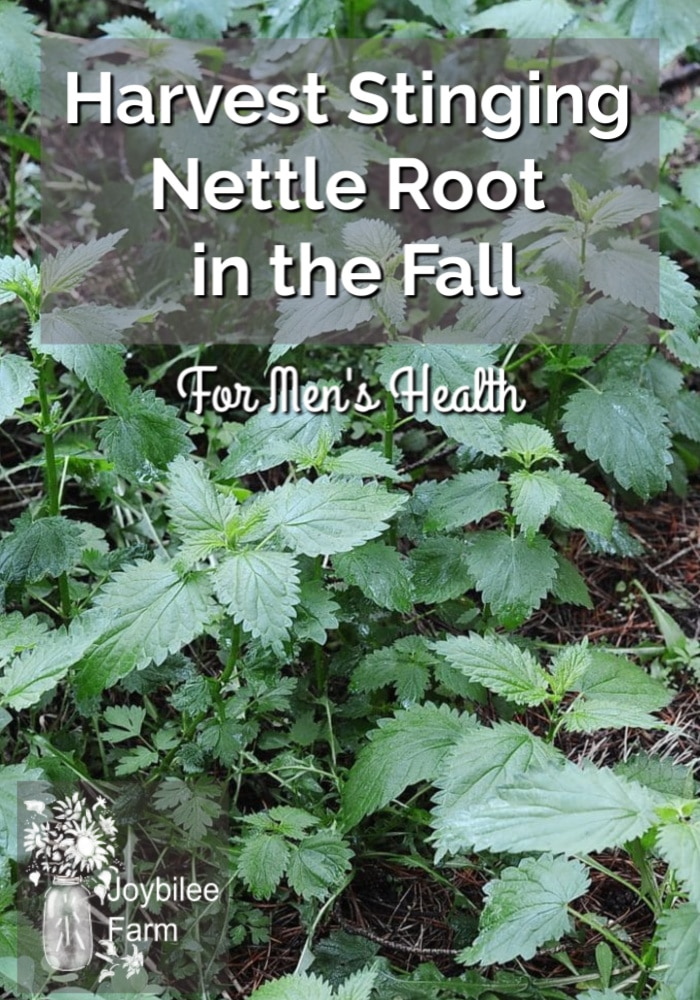stinging nettle plants on the forest floor with the text overlay 'harvest stinging nettle root in the fall for men's health'