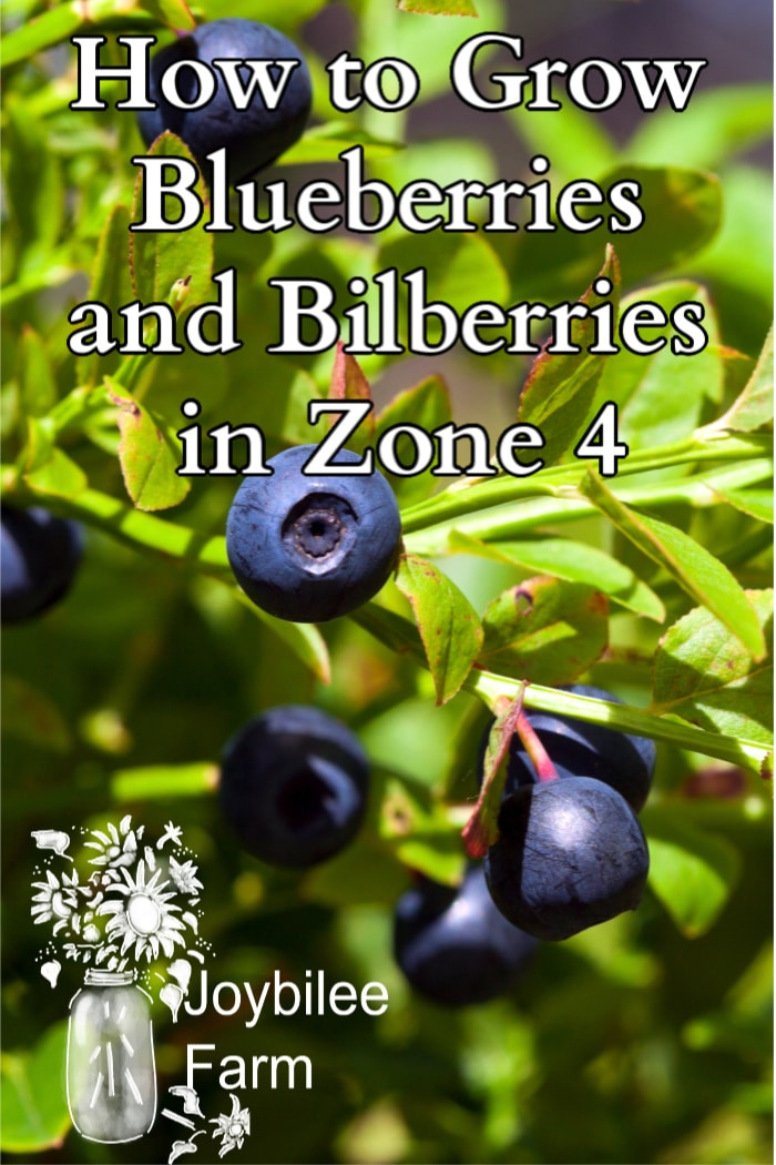 """blueberries growing on a bush with the text """"how to grow blueberries and bilberries in zone 4"""""""