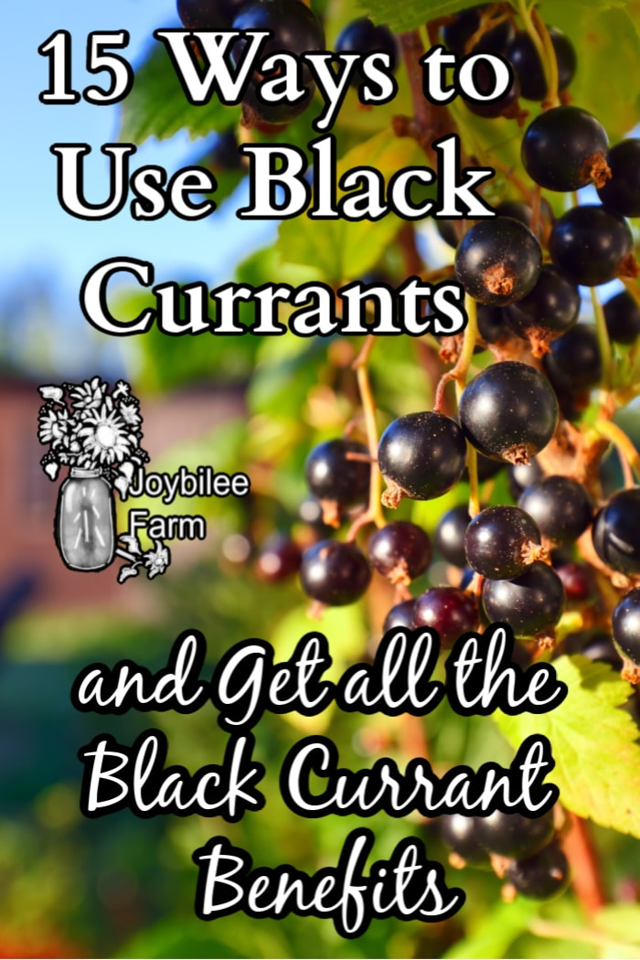 "black currants on a bush in the sun, with the text ""15 ways to use black currants and get all the black currant benefits"""