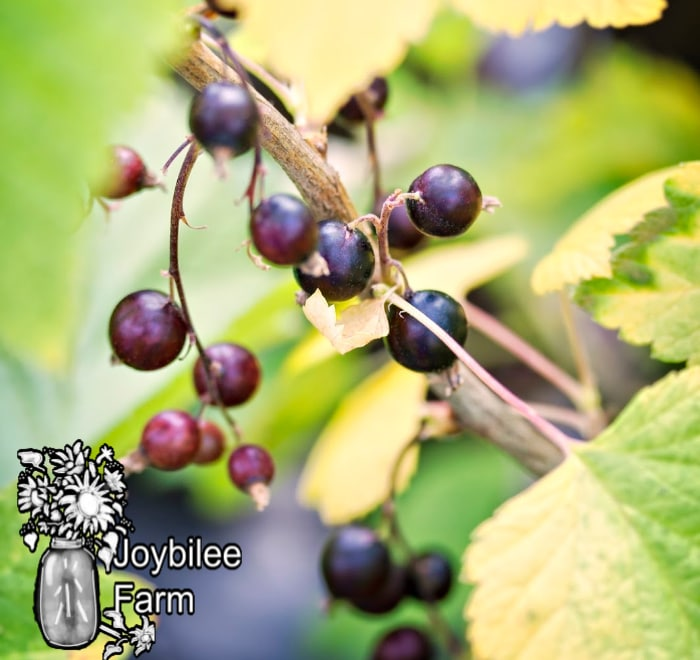black currants on a branch, learn how to grow black currants and enjoy these delicious berries at home