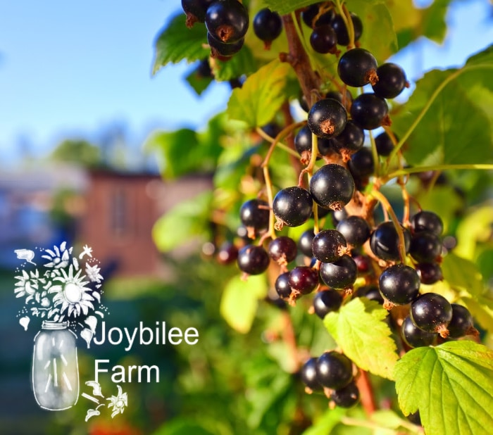 ripe black currants on a branch in sunlight