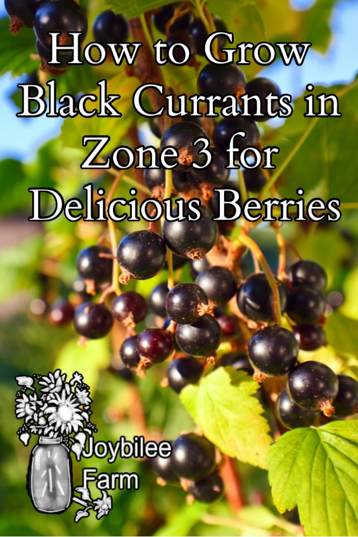 "black currants on a bush with sunlight with the text ""how to grow black currents in zone 3 for delicious berries"""