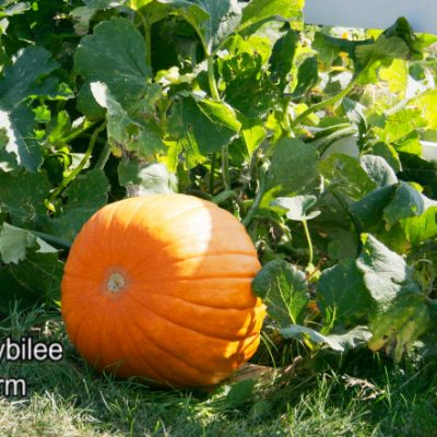 How to Grow Pumpkins Where It's Colder