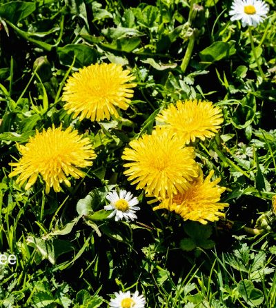 green spring lawn with dandelion flowers and daisies