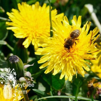 Dandelion Recipes: To Use This Abundant Spring Herb at Home
