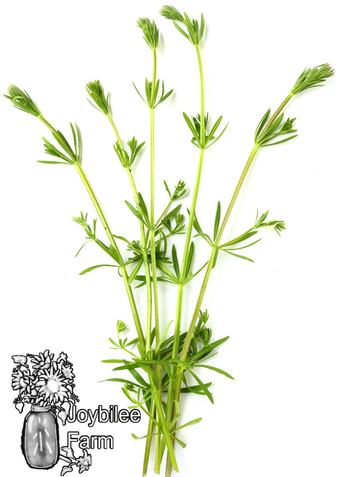 cleavers, a common garden weed but useful wild herb