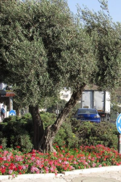 olive tree growing in a roundabout