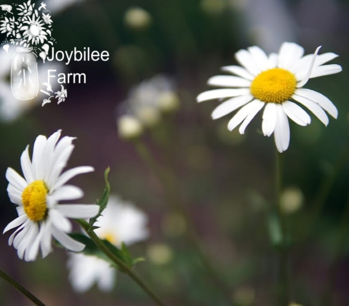oxeye daisys are a beautiful flower and tasty wild herb