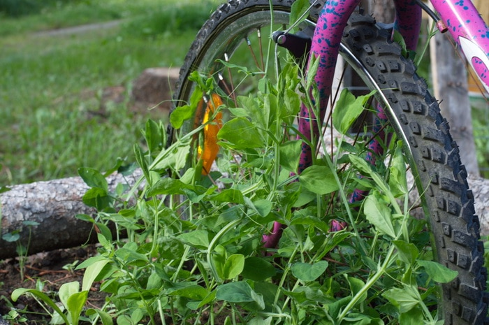 Sweet pea planter with an old bike