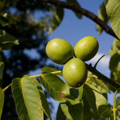 Don't Compost Those Black Walnut Hulls! Make a Black Walnut Tincture Instead