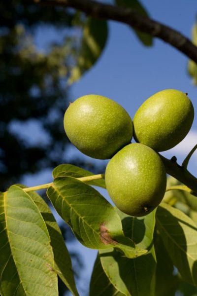 walnuts in their green hulls on the walnut tree