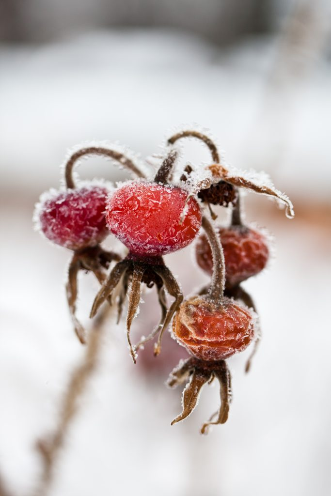 rosehips and frost