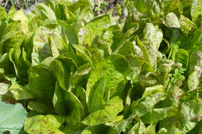 "Growing Lettuce indoors ""freckles"" variety"