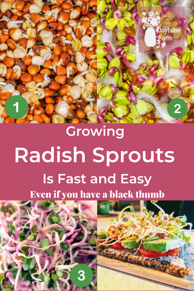Radish sprouts from seed to sandwich
